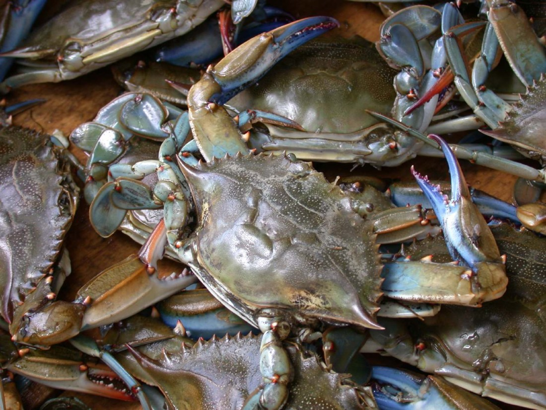 Blue_crab_on_market_in_Piraeus_-_Callinectes_sapidus_Rathbun_20020819-317-1100x825